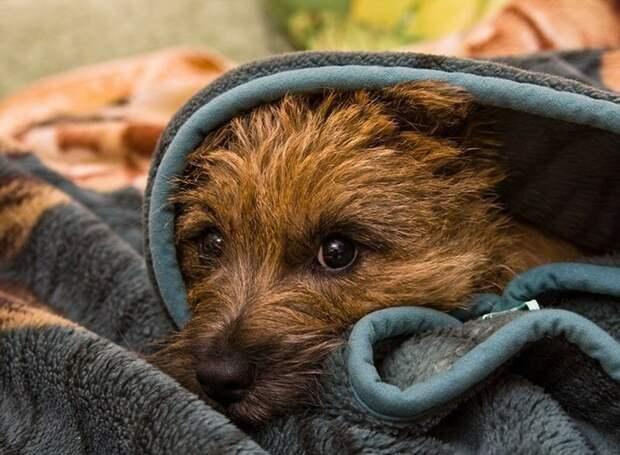 Этот славный пёсик просто для иллюстрации. Он очень похож на первое явление нашего щенка. https://clck.ru/NW4q8
