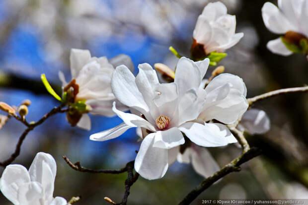 Прекрасное цветение крымской магнолии Магнолия, природа, растение