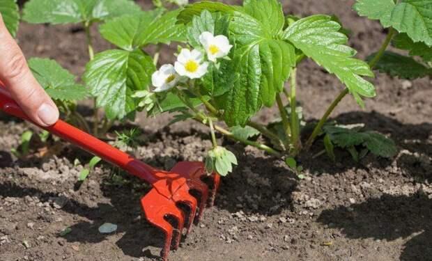Календарь ухода за клубникой с весны до осени