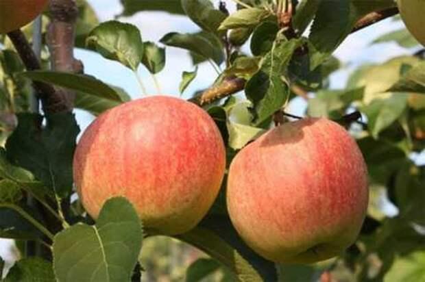 Созданы яблоки, превращающиеся во рту в газировку