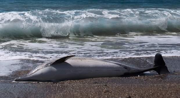 Вымирание дельфинов продолжается в Крыму