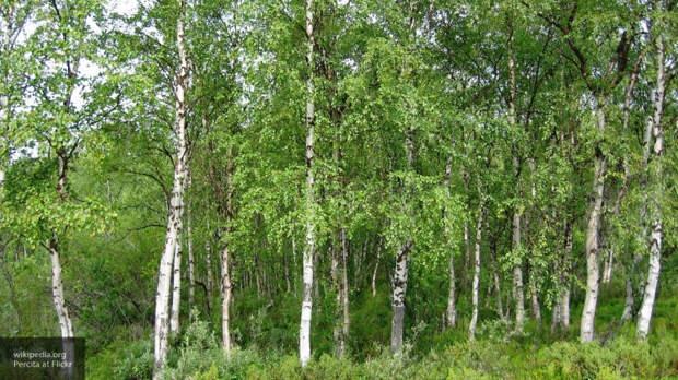 В Новгородской области мужчина незаконно срубил 50 берез