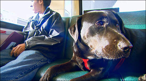 Seattle dog's rush hour ride: on the bus, by herself, weekly