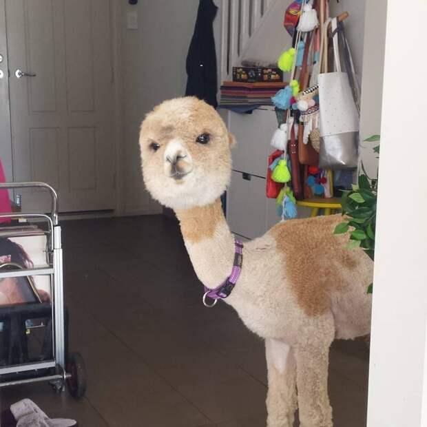 Этот альпака стал звездой Инстаграма, и от просмотра его фоточек можно получить передозировку милоты Instagram, альпака, домашний питомец, животные, милота, фото