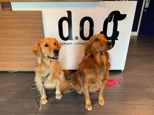 две рыжие собаки