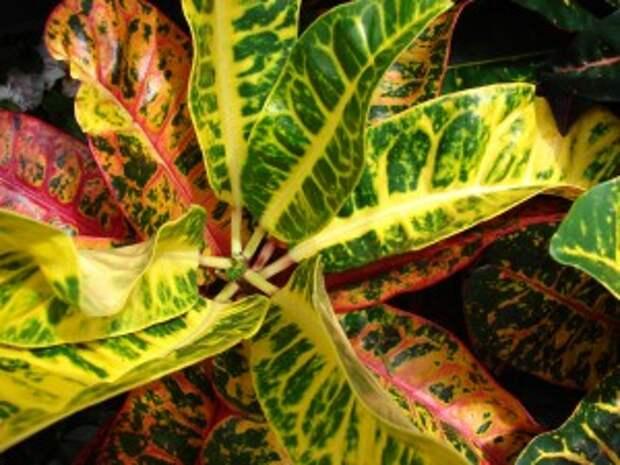 """Кротон - тропическое растение, которое достигает всей своей красы только на родине - юго-восточной Азии. Произрастая среди своих """"собратьев"""", молочаев, на Малаккских островах, он свободно вырастал до 2 метров в высоту, наслаждался влажным климатом и ярким солнечным светом."""