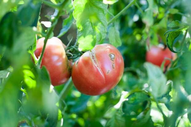 Почему лопаются помидоры