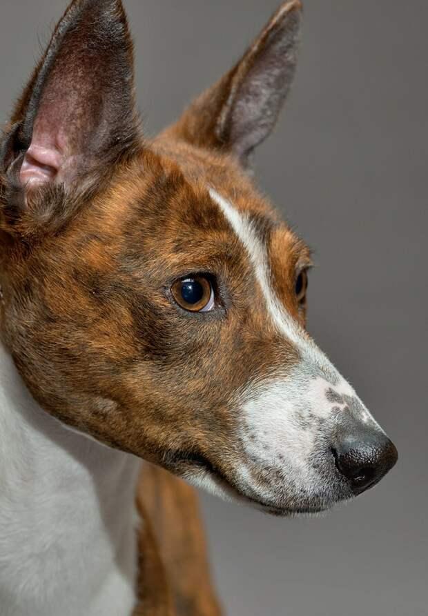 Басенджи - древнейшая африканская собака. Фото