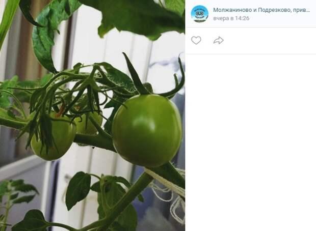 Фото дня: в квартире на Синявинской поспевают помидоры