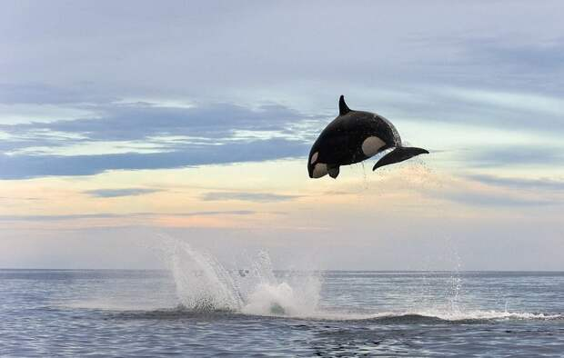Невероятные кадры: чудесное спасение дельфина после атаки косатки! аалина, косатка, нападение, природа, спасение, удчный снимок, фото, хищники и жертвы
