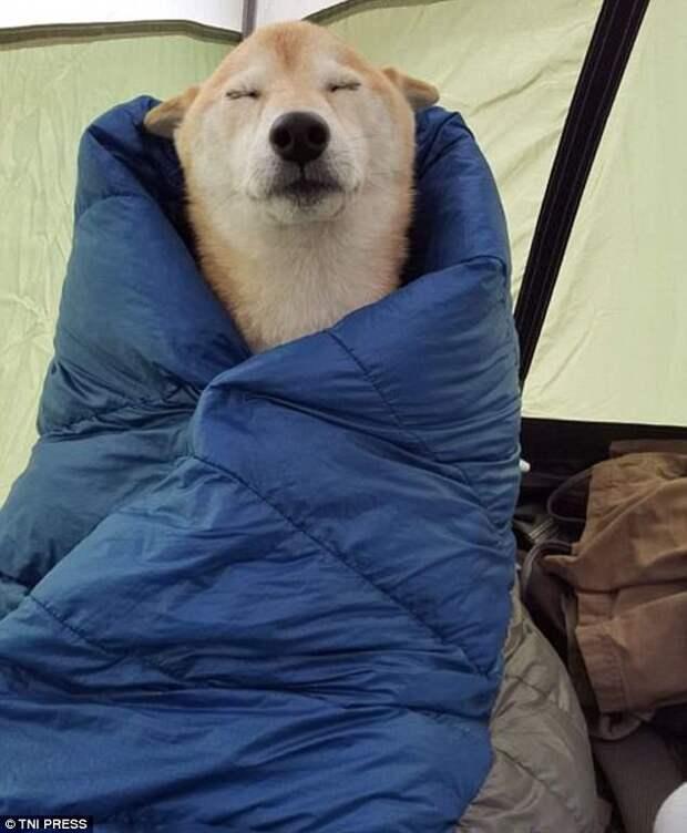 Настоящий турист в спальнике животные, мило, собаки, фото