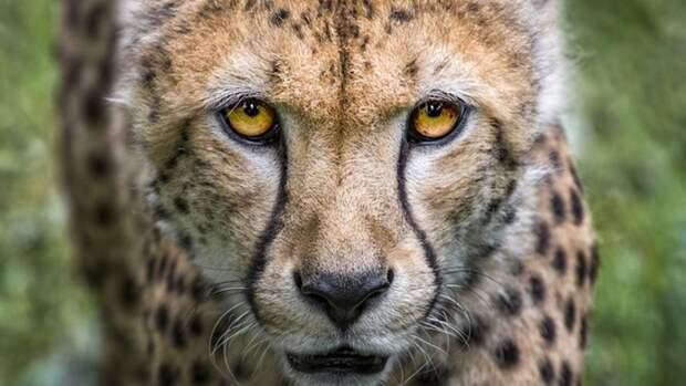 Тюменская прокуратура закрыла сайты с объявлениями о продаже гепардов и тигров