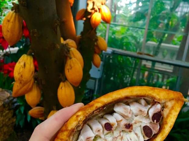 Шоколадное дерево в комнате — особенности выращивания какао