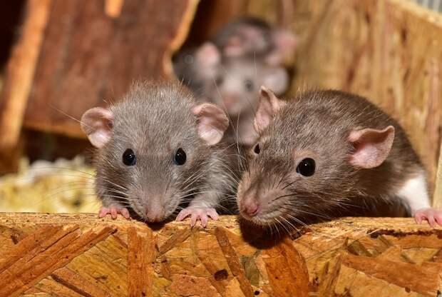 Российские исследователи испытывают на животных вакцину против коронавируса