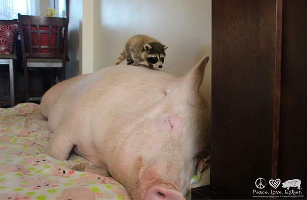 Мини-пиг превратился в большую свинью