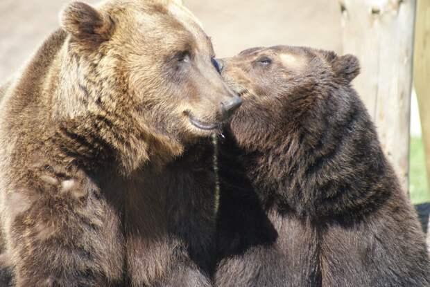 Медведи в зоопарке Ижевска перестали выходить на прогулки