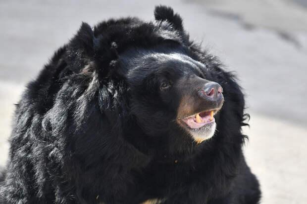 Гималайская медведица не проснулась после зимней спячки в Московском зоопарке