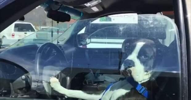 Псу надоело ждать хозяина и он стал давить на клаксон