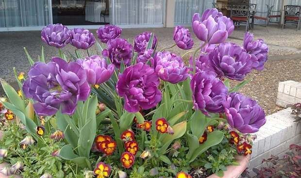 Махровый поздний тюльпан Блю Даймонд (Blue Dimond)