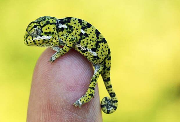 cute-baby-chameleons-58348fddead1b__700