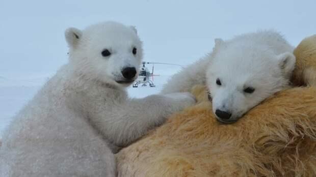 """Голодная белая медведица пытается добраться до запертого в прозрачной """"коробке"""" кинематографиста Гордон Бьюкенен, белый медведь, видео, медведица, медведь, норвегия"""