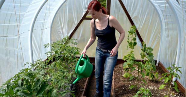 что делать, если у помидоров закручиваются листья