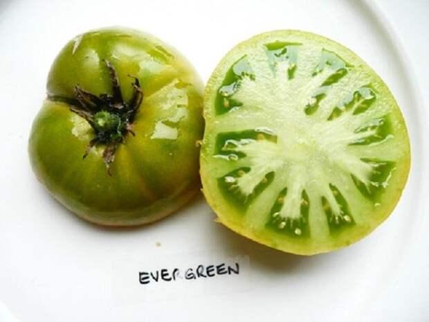 Сорт Эвергрин