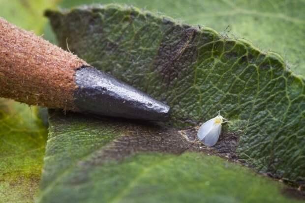 Белокрылка, или Алейродида (Aleyrodidae)