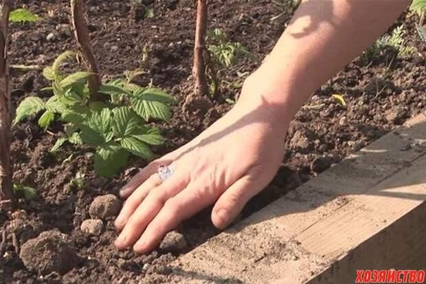 Десять правил посадки малины