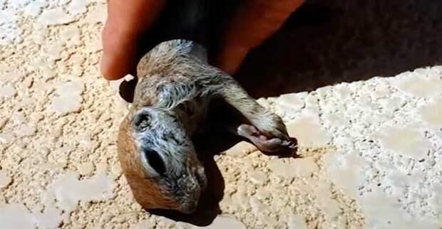 Парень откачал утонувшую луговую собачку