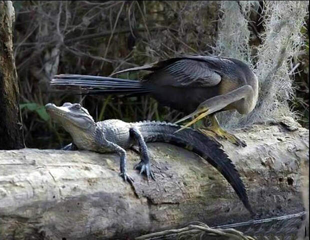 Птица и крокодил.