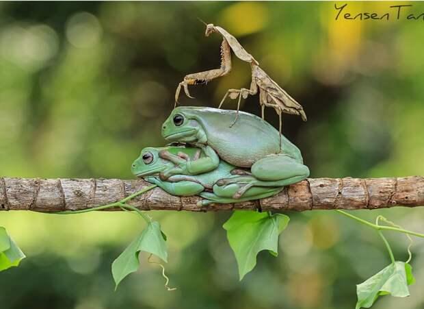 Зеленые оптимистки животные, лягушки