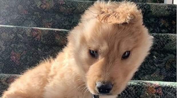 Собачка получила травму после рождения, а теперь у неё всего одно, но очень необычное ушко на макушке