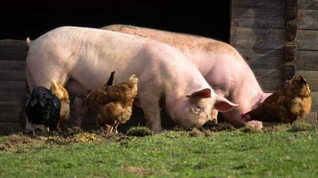 Курицы, свиньи и другой домашний скот оказались под запретом