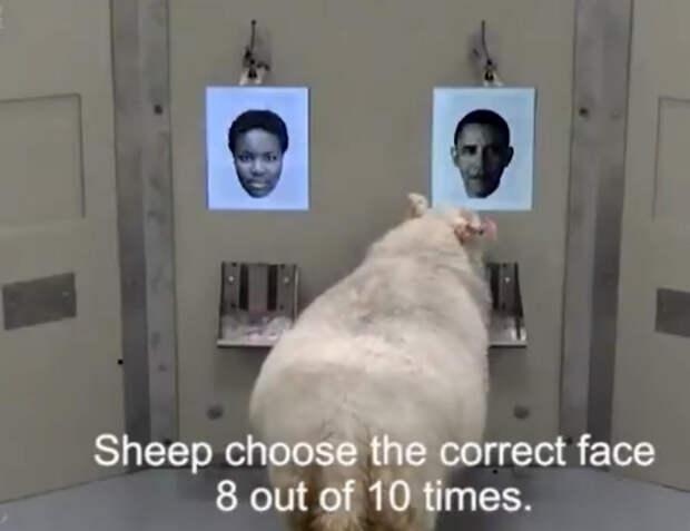 Баа-рак. Учёные научили овец отличать Обаму от Эммы Уотсон