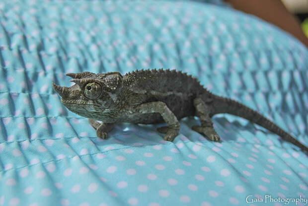 cute-baby-chameleons-5830628d80db6__700