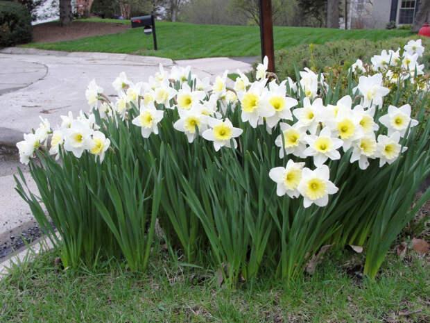 Многолетний садовый цветок Нарцисс (Narcissus)