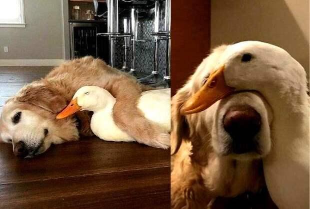 Собака и гусь сразу влюбились друг в друга. Они не расстаются ни на минуту