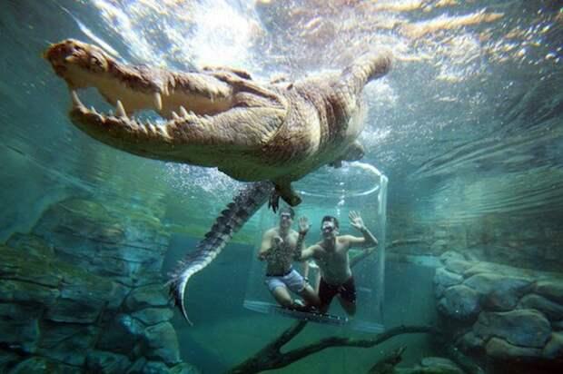 В Австралии предлагают поплавать с гигантским крокодилом