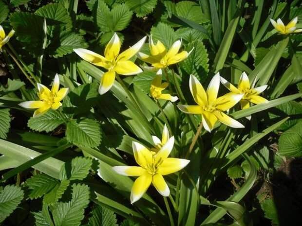 Ботанический тюльпан поздний (Tulipa tarda)