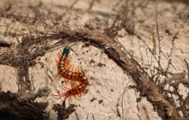 Почему сколопендры не могут убивать друг друга своим ядом