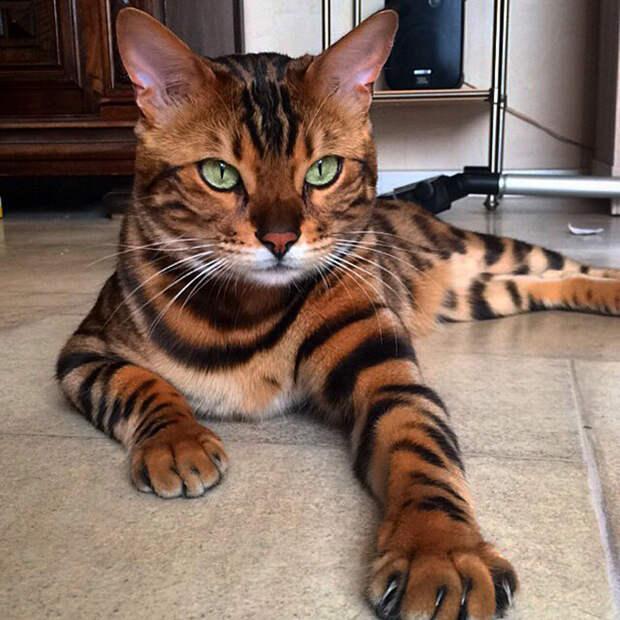 Гибрид домашней кошки и дикого Азиатского леопардового кота.