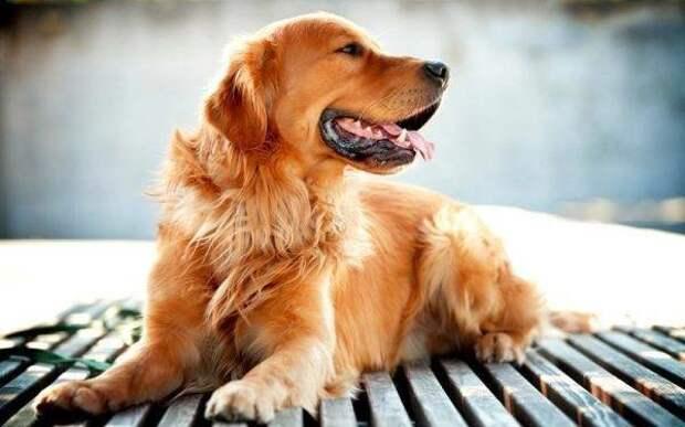 Золотистый ретривер больших, бульдог, до маленьких, питомец, породы, собак, такса