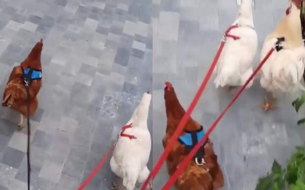 Фермеры вывели куриц на прогулку и сделали их интернет-звездами