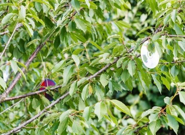 Как защитить вишню и черешню от птиц