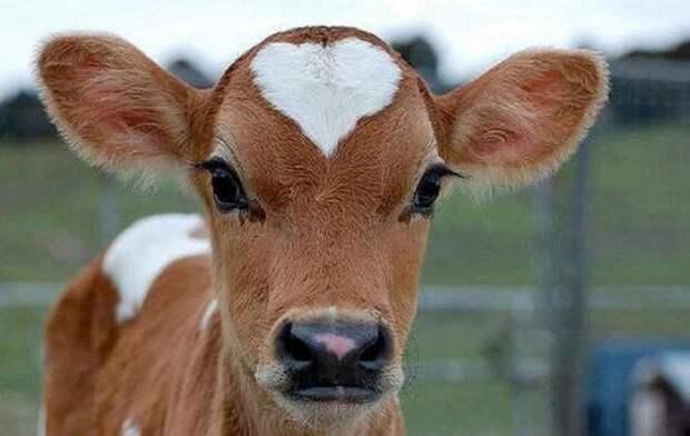 Ученые приучают коров к цивилизованному туалету для сокращения выбросов парниковых газов