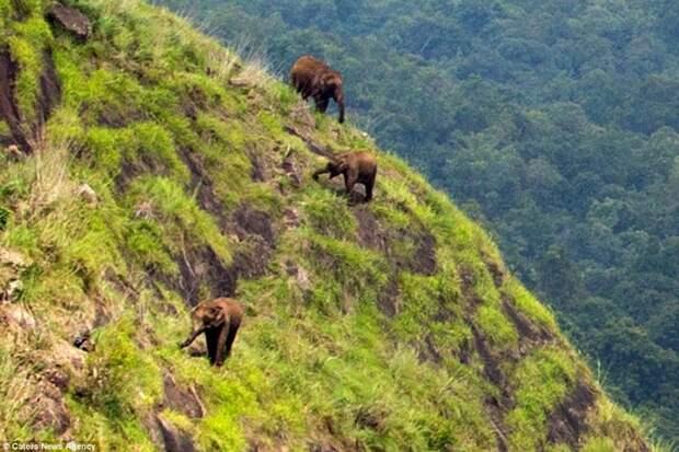 Индийские слоны не ищут легких путей