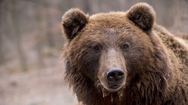 Раненый медведь растерзал жителя Хабаровского края