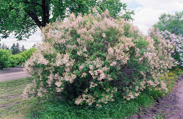 Сирень китайская Lilac, фото сайта plants.gertens.com
