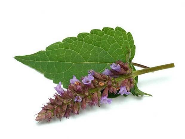 лофант (фото и описание пряной травы)